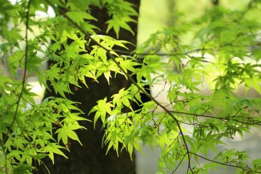 新緑 若葉 涼しい 緑 深呼吸 日本 静か 静寂 和風 庭 庭園 お茶 爽やか 風 背景 樹木 木 そよ風 日陰 自然 かえで カエデ 楓 木漏れ日