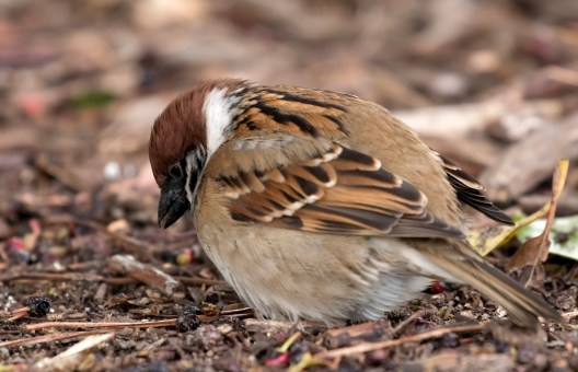 太った スズメ すずめ 雀 鳥 小鳥 丸々 デブ 太りすぎ 太り過ぎ 丸い 食べすぎ 食べ過ぎ ダイエット 冬