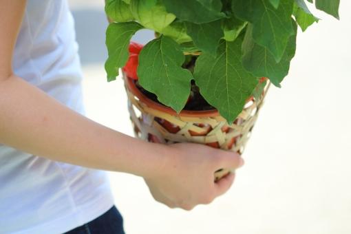 植物 鉢植え グリーン 緑 赤 朱色 縁日 お祭り おまつり 夏祭り 風 和風 日本 ほおずき市 ほおずき 風鈴 夏 涼 手 女性 持つ