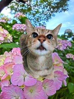 猫 ネコ 紫陽花 あじさい アジサイ 花 青空 自然 風景 景色 合成 加工 花 開花 咲く 梅雨 ピンク 植物 可愛い 華やか 視線 見つめる 顔 表情 ちゃこ 季節