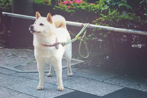 白柴 待つ 主人 飼い犬 ペット 白 白い 柴犬 シバイヌ しばいぬ 日本犬 犬 しばけん シバケン shiba shiba-inu inu で待ち 出待ち 哺乳類 芝犬 雑種 雑種犬 わんこ ワンコ ワンちゃん わんちゃん かわいい 可愛い かわいらしい 可愛らしい つなぐ 繋ぐ 繋がれる つながれる 紐 犬の紐 リード 犬のひも 従順 和犬 犬ころ リーシュ ハーネス にほんけん ニホンケン 主従 主従関係 おとなしい 大人しい 主人を待つ 穏やか おだやか 忠誠 素直 すなお 飼い主 小型犬 イヌ いぬ 動物 忠犬 愛犬 ペット犬 家庭犬 アニマル ワンワン わんわん 家族の一員 家族 純真 いやし 慕う 待ち焦がれる 待ち焦がれ 焦がれる 待ちくたびれる 待ちくたびれ 一途 想い 癒し 癒される いやされる チャーミング 好かれる 和む なごむ 人気 人気者 散歩 お散歩 見つめる 待ちきれない キュート 愛らしい あいくるしい 愛くるしい 愛しい 愛おしい いとおしい 従者 dog お店の前 スーパーの前 待ちぼう犬 待ちぼうけ お買いもの 買物 買い物 かいもの 買いもの お買い物 哀愁 哀愁漂う 切なさ 切ない せつない 日本 にほん にっぽん ジャパン 町 街中 街 日常 画像加工 エフェクト 加工 日常風景 グロー グロー効果 ソフトバンク お父さん犬 お父さん softbank 白い犬