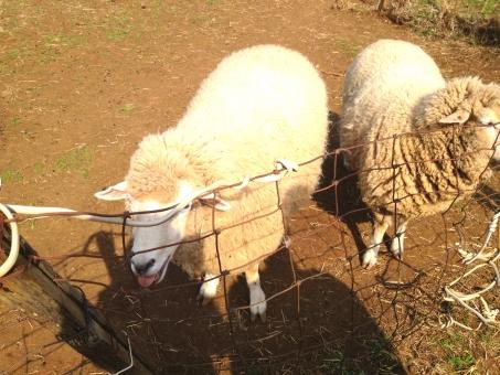 ひつじ ヒツジ 羊 未 動物 アニマル animal sheep 生き物 生物 いきもの せいぶつ どうぶつ ラム 未年 ひつじ年 ひつじどし 動物園 どうぶつえん