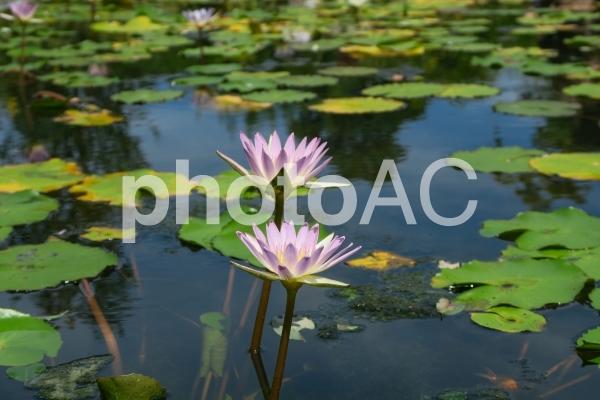 夏の池の写真