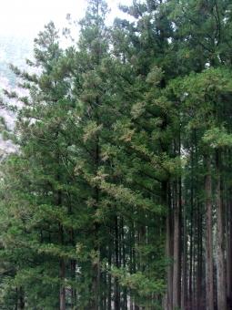 杉 japanese cedar Cryptomeria スギ 針葉樹 木 植物 植林 林業 手入れ 間伐 山 森 林 木材 花粉 花粉症 飛散 アレルギー 日本 Japan 野外 屋外 葉 緑 風媒花 アレルゲン スギ花粉症 春 pollinosis