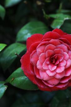 椿 つばき ツバキ ツバキ科 ツバキ属 常緑樹 樹木 花椿 春 季語 植物 可憐 大輪  屋外 外 アップ 開花 満開 花びら 可憐 優雅 気品 和風 赤い花 赤