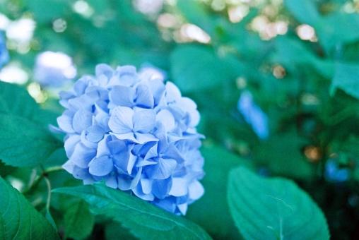 あじさい アジサイ 紫陽花 青 花 朝 梅雨時 六月 水無月 雨 初夏