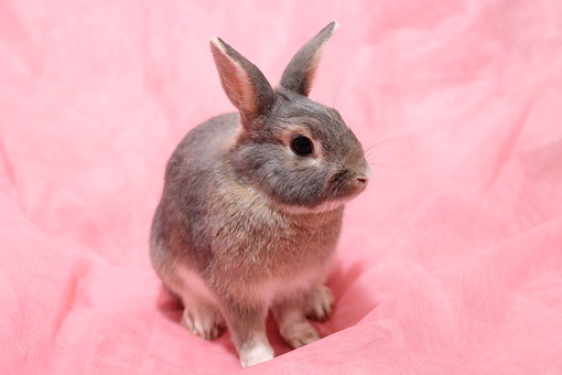 ウサギ うさぎ 兎 生き物 ペット 家族 ほ乳類 哺乳類 生物 かわいい 小さい 毛 毛並み ペットショップ 獣医 トリマー 灰色 グレー ピンクバック 小動物 可愛い 小さい 耳 長い耳 子うさぎ