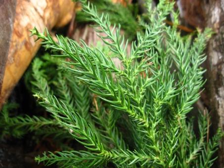 杉の葉 葉 すぎの葉 スギの葉 葉っぱ は 天然 自然 素材 材料 アップ マクロ 植物 背景 背景素材 テクスチャ 使える 緑 みどり ミドリ