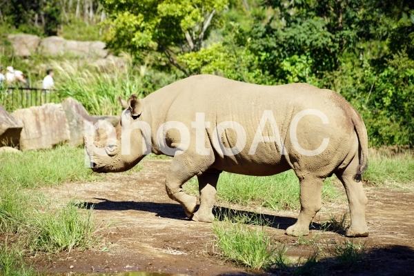 ヒガシクロサイ(よこはま動物園ズーラシア)の写真
