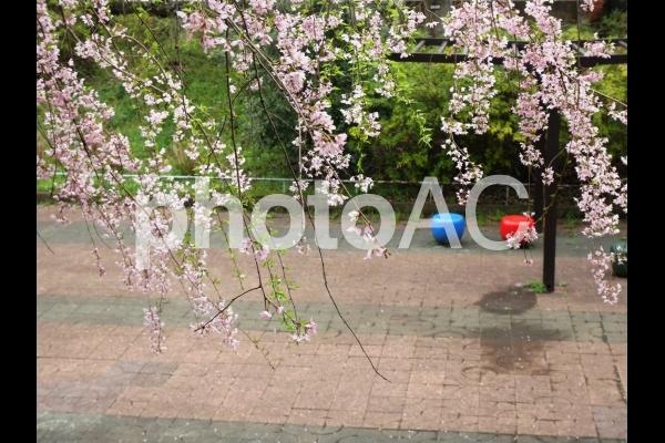 公園の桜2の写真