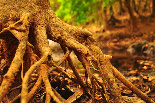 外国 海外 アジア 東南アジア フィリピン 熱帯 モンスーン 多雨 気候 熱帯雨林気候 屋外 野外 自然 風景 景色 植物 熱帯植物 熱帯雨林 海漂林 樹木 木 マングローブ 根元 根 気根 呼吸根 密林 熱帯林 ジャングル 葉 落ち葉 堆積物 水辺 湿地 塩性湿地 河口 河口汽水域 汽水域 神秘的