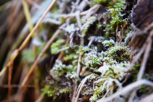 自然 植物 コケ こけ 苔 シダ植物 冬 寒空 冷え込み 氷 霜 しも 寒い 寒気 朝 早朝 10月 十月 11月 十一月 12月 十二月 1月 一月 師走 2月 二月