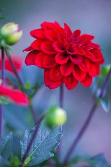 自然 植物 花 花びら 赤 大輪 一輪 アップ 鮮やか 綺麗 美しい 華やか 咲く 満開 開く 開花 成長 育つ 伸びる ぼやける ピンボケ 重なる 無人 加工 室外 屋外 風景 景色 緑 つぼみ 葉 葉っぱ 緑 茎 葉脈 幻想的 ダリア