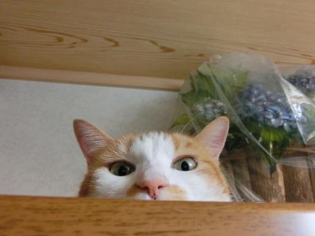 ネコ 猫 顔 表情 見つめる 見下ろす 視線 カメラ目線 目を開けた ピンクの鼻 監視 見張り 覗き見 アップ かわいい 可愛い 考え事 考え中 悩み事 悩む うーん やる気なし くつろぐ 寛ぐ だらける リラックス しらけ顔 室内 家猫 にゃらん