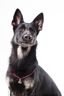 ポーズ 動物 生物 生き物 哺乳類 ほ乳類 犬 いぬ イヌ ドッグ シェパード 黒 おすまし しつけ まて 待て 上を向く 嬉しい 正面 かわいい 可愛い バストショット バストアップ 白背景 白バック グレーバック 十二支 干支 戌