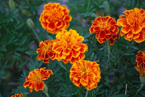 マリーゴールド 自然 植物 花 花びら 赤色 オレンジ色 橙色 めしべ おしべ 花粉 つぼみ 茎 葉 葉っぱ 緑 満開 開花 咲く 開く 成長 育つ 伸びる 群生 無人 室外 屋外 風景 景色