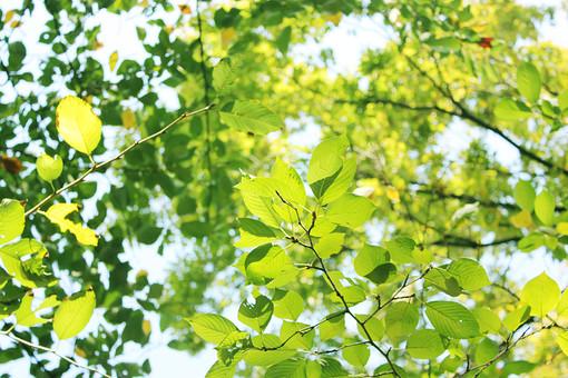 木 木々 樹木 若葉 新緑 緑 晴れ 空 快晴 青空 自然 エコ エコロジー 植物 風景 木漏れ日 森林 森 葉