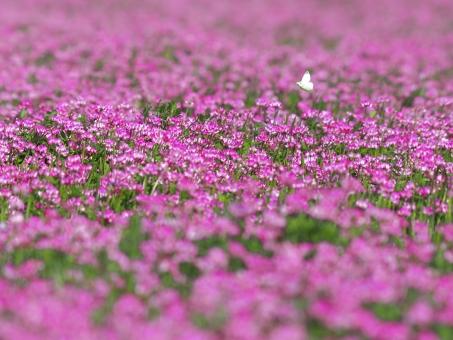 ピンク色のれんげ草畑の写真