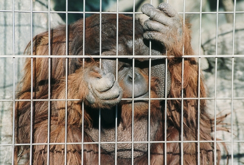 satochi サトチ オランウータン おらんうーたん orangutan さる サル 猿 monkey 動物 animal 動物園 どうぶつ zoo どうぶつえん 天王寺動物園 てんのうじどうぶつえん 天王寺 てんのうじ テンノウジ tennouji osaka 大阪 おおさか オオサカ ニホン 日本 japan にほん