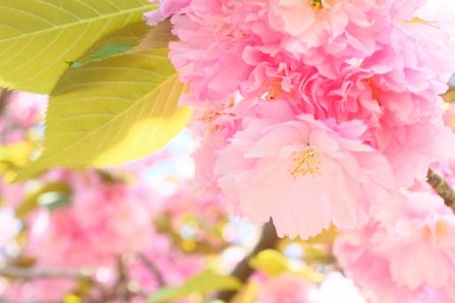 八重桜 八重 やえざくら ヤエザクラ 八重ザクラ 桜 サクラ さくら ピンク 花木 花 植物 木 桃色 クローズアップ アップ 葉 葉っぱ 壁紙 春 春イメージ 明るい