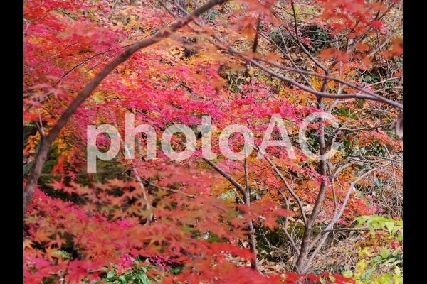 紅葉の林の写真