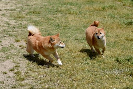 柴犬・ドッグランの写真