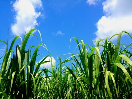 さとうきび畑」に関する写真|写...