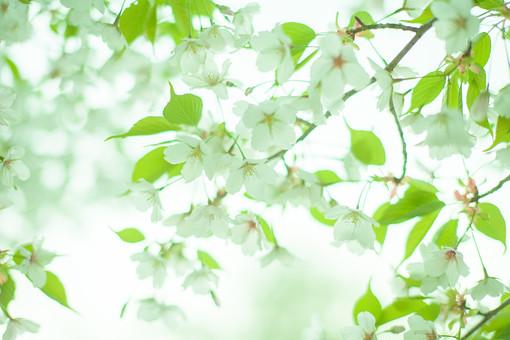 自然 植物 花 花びら サクラ 桜 めしべ おしべ 花粉 密集 集まる 沢山 多い 開花 満開 開く 咲く 成長 育つ 葉 葉っぱ 緑 枝 見頃 春 空 ぼやける ピンボケ 加工 アップ 無人 室外 屋外 風景 景色