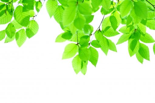 ブナ ぶな 山毛欅 山毛欅林 ブナ林 ぶな林 葉っぱ 木の葉 木葉 はっぱ 木の枝 小枝 自然 風景 木 樹木 森 植物 緑 グリーン エコ エコロジー 環境 eco eco eco 森林 森林浴 森林セラピー 癒し いやし リラックス リラクゼーション やすらぎ 安らぎ 葉 マイナスイオン 健康 美容 背景 背景素材 テクスチャ テクスチャー バックグラウンド ンポイント 切り抜き きりぬき 背景白 パス マスク クリッピングパス アクセント 飾り 5月 夏 緑 春 初夏 癒し きらめき キラメキ 優しさ