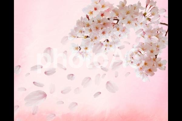 散りゆく桜と和紙背景素材の写真