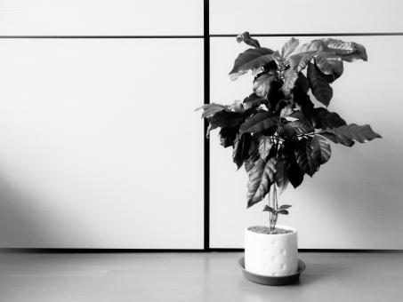 白黒 モノクロ 木 コーヒーの木 コーヒー 観葉植物 植物 緑 グリーン インテリア クール 葉 葉っぱ