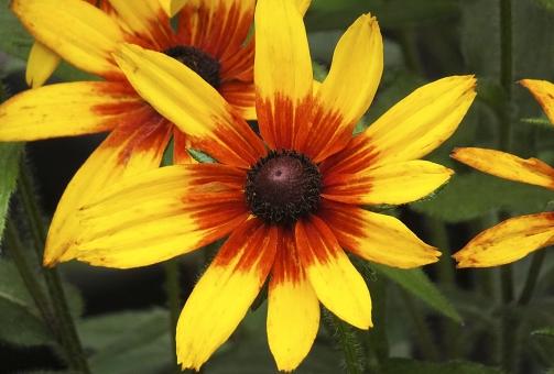 satochi サトチ 花 はな ハナ flower ルドベキア rudbeckia 花笠菊 ハナガサギク はながさぎく 夏 なつ ナツ summer 黄色 きいろ キイロ yellow 黄 橙 橙色 だいだい色 オレンジ おれんじ orange