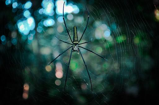 外国風景 外国 海外 フィリピン アジア 東南アジア 南国 観光地 旅行 観光 自然 風景 景色 森の中 植物 森林 森 クローズアップ 樹 樹木 葉 くも クモ 蜘蛛 蜘蛛の巣 くものす クモの巣 昆虫 虫 1匹 糸 蜘蛛の糸
