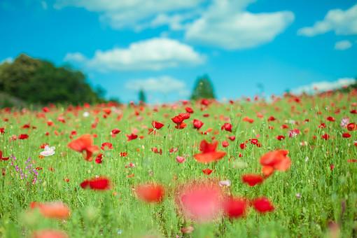 自然 植物 赤い 花 花びら つぼみ 葉 葉っぱ 緑 茎 成長 育つ 伸びる 鮮やか 綺麗 可愛い 美しい 空 雲 青い 白い 晴天 晴れ 天気 青空 アップ 無人 室外 屋外 風景 景色 満開 開花 開く 咲く 多い 沢山 集まる 密集 木 樹木 林 森 森林 加工 ポピー 幻想的