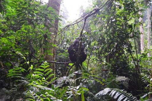 森 ゴリラ gorilla forest green wild uganda ウガンダ 野生 動物 アフリカ Africa ごりら 背景 木 自然 緑 風景