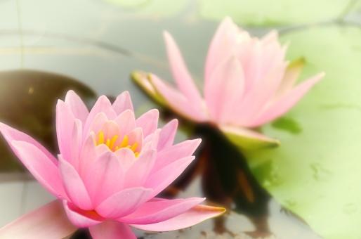 ピンクの花 花 スイレン 睡蓮 水の上に咲いてる花 美しい花 池に咲いてる花 池に浮いてる花 花画像 バックグランド 背景 壁紙 フリー画像 植物 池 水の上 蓮 蓮の花 ハスの花 ピンクの蓮