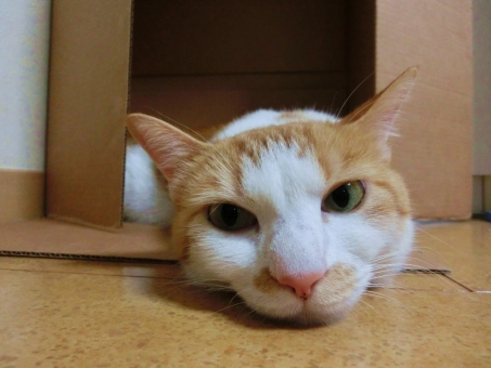 猫 ネコ ねこ キャット カメラ目線 白 茶 寝そべった 顔 表情 ピンクの鼻 ヒゲ 白いひげ やる気なし だるい つまらない 目を開けた 視線 飼い猫 家猫 室内猫 退屈 接写 無表情 うつろな目 眠たい だらけた くつろぐ ピンク にゃらん