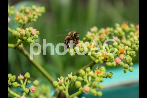ヤブカズラに蜜蜂の写真