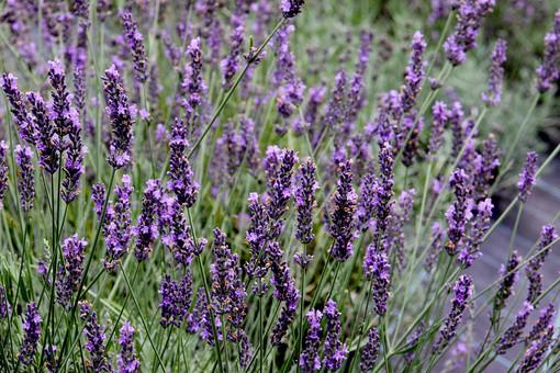 ラベンダー ハーブ 香草 植物 小さい 屋外 外 庭 ガーデニング 花壇 栽培 趣味 花びら 花弁 アップ 自然 野生 自生 野草 可愛い 可憐  ぼかし ズームアップ 紫色の花 紫