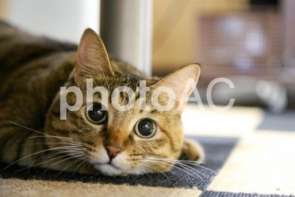 パパと遊ぶ、好奇心いっぱいの可愛い猫の写真
