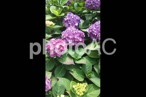 アジサイ花壇の写真