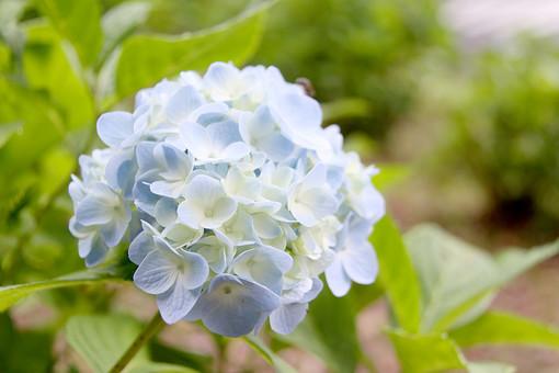 紫陽花 あじさい アジサイ 梅雨 雨期 初夏 植物 小さい 屋外 外 庭 ガーデニング 花壇 栽培 趣味 花びら 花弁 草 アップ 自然 野生 自生 野草 可愛い 可憐 細かい 青 水色 青い花
