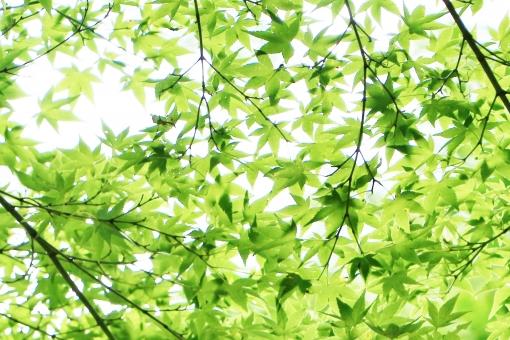 モミジ もみじ 椛 夏 葉 葉っぱ モミジの葉 もみじの葉 椛の葉 緑 緑色 グリーン green 模様 手の平 掌 若葉 若葉色 青い 若い 若々しい いきいき 生き生き イキイキ 薄緑 黄緑 黄緑色 風景 景色 景観 壁紙 テクスチャ 素材 爽やか 爽快 清々しい 気持ちいい 気持ち良い 涼しい 涼しさ 涼 涼感 夏らしい 涼やか leaf リーフ 重なり 葉の重なり 夏のもみじ 夏のモミジ 夏の椛 カエデ 楓 若い葉 若い葉っぱ 葉の緑 緑の葉 緑色の葉 緑色の葉っぱ 優しい 癒し