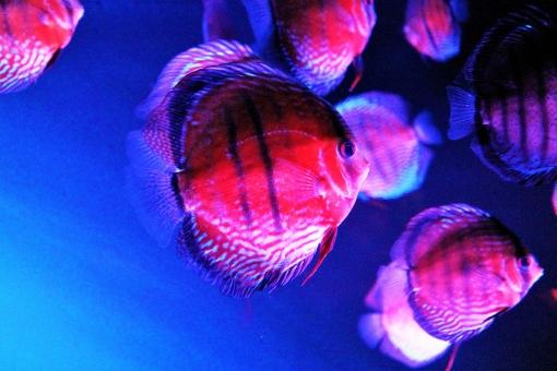 水族館 熱帯魚 淡水魚 魚 鑑賞用 アマゾン 飼育 南米 南アメリカ アマゾン川 原産 円盤型 群れ 縄張り 養殖 品種改良 色彩 縞 縦じま 縦縞 ブルー 褐色 赤褐色 ペットショップ 水槽 プランクトン 価格