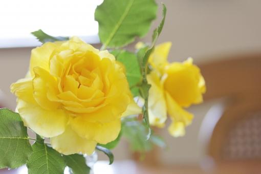 バラ ばら 黄色のバラ 薔薇 花 植物 観賞 花瓶 インテリア 花びら トゲ 棘 とげ ガーデニング 室内 飾り 飾る 彩る 綺麗 きれい キレイ 美しい バラ色 ばら色 素材 背景 自然 背景素材 ウェブ素材 ブログ素材 ホームページ素材 web rose 黄色いばら 栽培 育てる