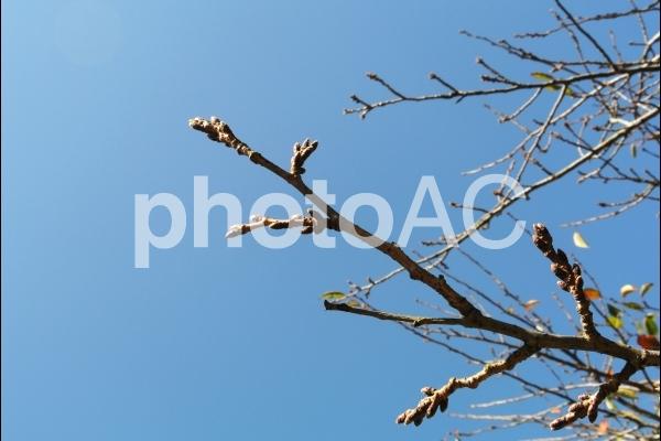 冬眠 芽の写真