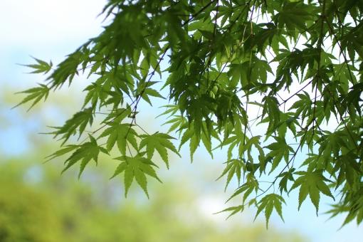 日本 静か 静寂 和風 庭 庭園 お茶 風 樹木 木 そよ風 日陰 かえで カエデ 楓 木陰 緑 散歩道 ひだまり 日だまり スポットライト 森 森林 ハイキング ピクニック 涼しい 楽しい 休憩 呼吸 深呼吸 空気 清涼感 新緑 のんびり 木漏れ日 こもれび 熱中症 ゆっくり 若葉 青葉 バックグラウンド 爽やか 背景デザイン 自然 ナチュラル 春 薔薇 ギフト カード メッセージ 背景 壁紙 植物 初夏 5月 メッセージカード やわらかい 背景素材 素材