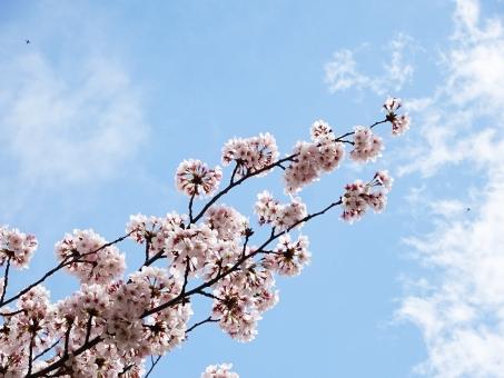 桜 さくら サクラ 満開 先 枝 花見 空気 空 見上げる 青空 雲 景色 花玉 玉 まるい 丸い 普通 気持ち 明るい 元気 カップル 愛情 家族 レジャー 楽しい わくわく 笑顔 飛ぶ 鳥