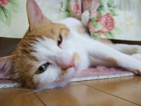 猫 ネコ 寝相 カメラ目線 寝そべった 寝ころんだ 顔 表情 ピンクの鼻 かわいい 目を開けた 茶白 怠ける 猫の足 だらける やる気なし 退屈 飼い猫 家猫 室内猫 ペット 動物 眠い 視線 態度 寝不足 にゃらん くつろぐ つまらない すねる