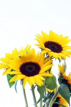 ひまわり 夏 真夏 夏休み 夏の空 夏の花 黄色 花 植物 自然 向日葵 ヒマワリ 花びら 葉 白バック コピースペース